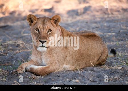 Lioness (Panthera leo), Chief Island, Moremi Game Reserve, Okavango Delta, Botswana, Africa - Stock Photo