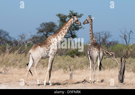 Southern giraffe (Giraffa camelopardalis), Chief Island, Moremi Game Reserve, Okavango Delta, Botswana, Africa - Stock Photo