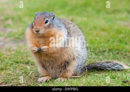 Columbian ground squirrel (Spermophilus columbianus), Barkersville, British Columbia, Canada - Stock Photo