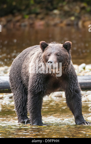 Brown or grizzly bear (Ursus arctos) fishing for salmon in Great Bear Rainforest, British Columbia, Canada - Stock Photo