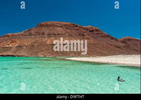 Pelicans in the turquoise waters at Isla Espiritu Santo, Baja California, Mexico - Stock Photo