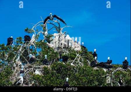 Frigate birds colony at Isla Espiritu Santo, Baja California, Mexico - Stock Photo