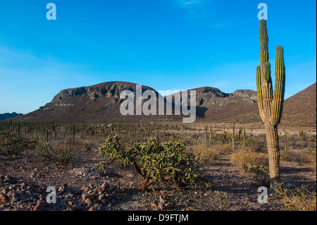 Cactus trees in the countryside near La Paz, Baja California, Mexico - Stock Photo