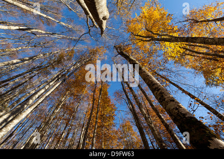 Alpago beech forest in autumn, Belluno, Veneto, Italy - Stock Photo