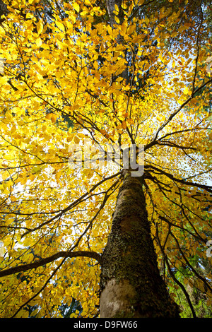Beech leaves with autumn colours in the Cansiglio forest, Belluno, Veneto, Italy - Stock Photo