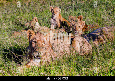 Lioness and her cubs in long grass, Western Cape, South Africa, Africa - Stock Photo