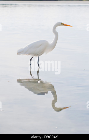 Eastern great egret (Ardea alba modesta), a white heron at Okarito Lagoon, West Coast, South Island, New Zealand - Stock Photo