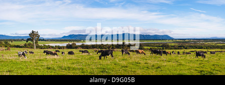 Herd of cows on farmland on the West Coast, South Island, New Zealand - Stock Photo