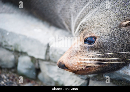 Fur seal at Kaikoura, Canterbury Region, South Island, New Zealand - Stock Photo