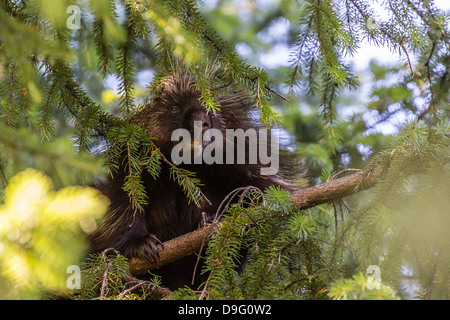 Adult porcupine (Erethizon dorsatum) foraging near Mendenhall Glacier, Southeast Alaska, USA - Stock Photo
