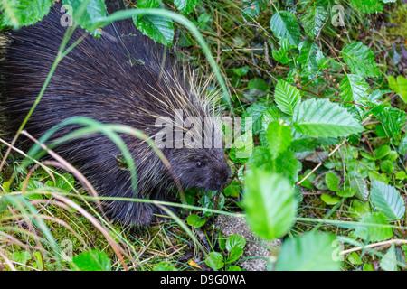 Adult porcupine (Erethizon dorsatum) foraging near Mendenhall Glacier, Southeast Alaska, USA - Stock Photo