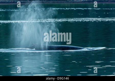 Adult humpback whale (Megaptera novaeangliae) flukes-up dive, Snow Pass, Southeast Alaska, USA - Stock Photo