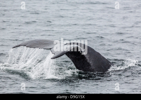 Adult humpback whale (Megaptera novaeangliae) flukes-up dive, Snow Pass, Southeast Alaska, USA - Stock Photo