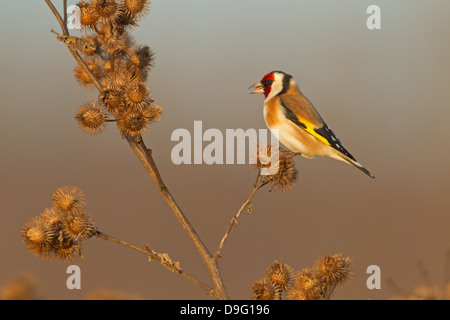 Stieglitz, Distelfink, Eurasian Goldfinch, Goldfinch, European Goldfinch, Carduelis carduelis - Stock Photo