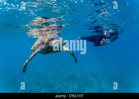 Green sea turtle (Chelonia mydas) underwater with snorkeler, Maui, Hawaii, United States of America - Stock Photo
