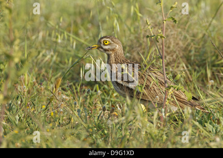 Triel, Stone Curlew, Stone-curlew, Stone-Curlew, Eurasian Thick-knee, Burhinus oedicnemus - Stock Photo