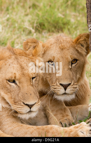 Two lion cubs relaxing in the shade of a tree, Masai Mara, Kenya, Africa - Stock Photo