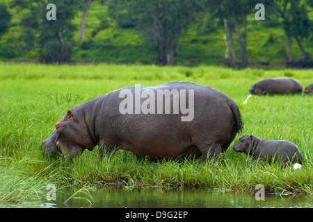Hippopotamus and baby (Hippopotamus amphibius), and Cattle Egret, by Chobe River, Chobe National Park, Kasane, Botswana, - Stock Photo