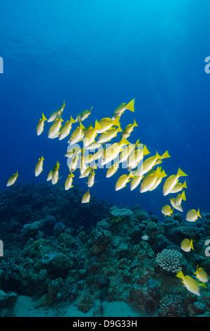 Medium shoal or school of blue striped snapper (Lutjanus kasmira), Naama Bay, off Sharm el-Sheikh, Sinai, Red Sea, - Stock Photo