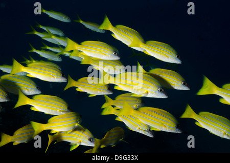 Medium shoal or school of blue striped snapper (Lutjanus kasmira), Naama Bay, off Sharm el-Sheikh, Sinai, Red Sea, - Stock Photo