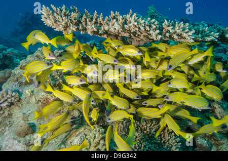 School of blue striped snapper (Lutjanus kasmira) underneath table coral, Naama Bay, Sinai, Red Sea, Egypt, Africa - Stock Photo
