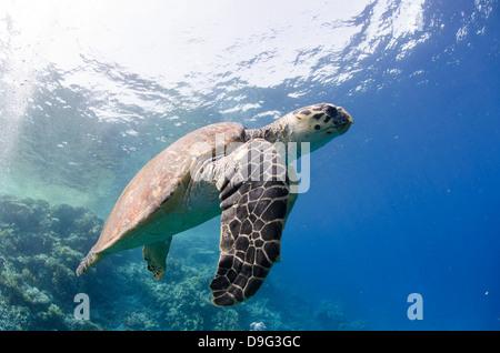 The critically endangered hawksbill turtle (Eretmochelys imbricata), Ras Mohammed National Park, Sinai, Red Sea, - Stock Photo
