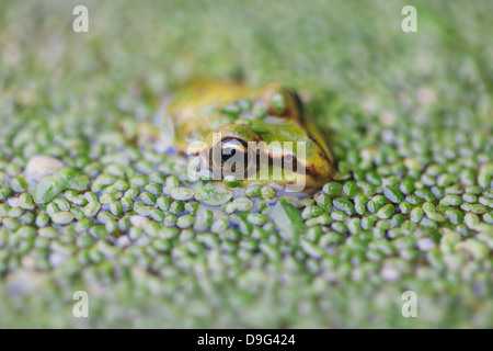 Close-up of European common frog (Rana temporaria), North Brabant, The Netherlands - Stock Photo