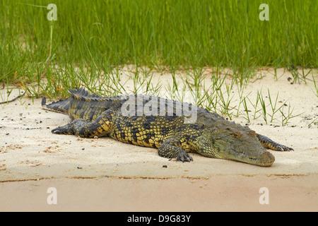 Nile crocodile (Crocodylus niloticus), Chobe River, Chobe National Park, Kasane, Botswana, Africa - Stock Photo