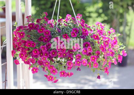 Calibrachoa, million bells, petunia,Solanaceae, cherry color - Stock Photo
