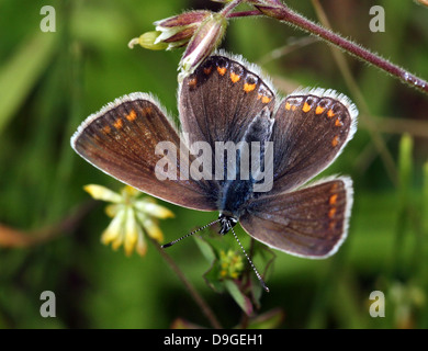Detailed macro image of brownish  female Common Blue (Polyommatus icarus) butterfly - Stock Photo