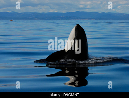 a killer whale spyhops to take a look at its surroundings with a whale-watching boat in the background - Stock Photo