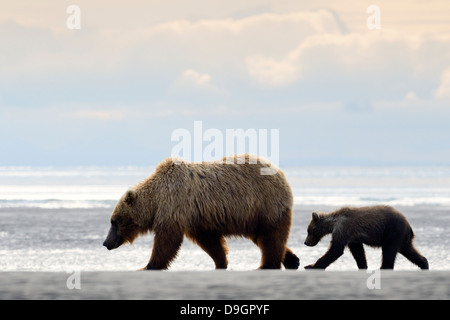 Grizzly Bear mother with cub walking on beach - Stock Photo