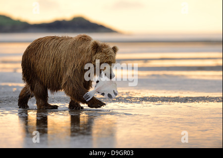 Grizzly Bear walking with caught fish in mouth - Stock Photo