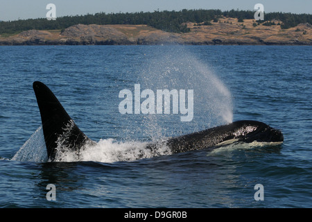 a male killer whale surfaces - Stock Photo