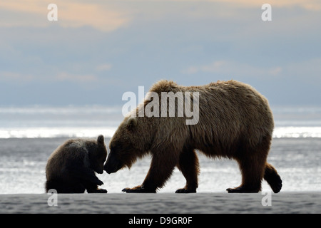 Mother Grizzly Bear with cub playing on beach. - Stock Photo