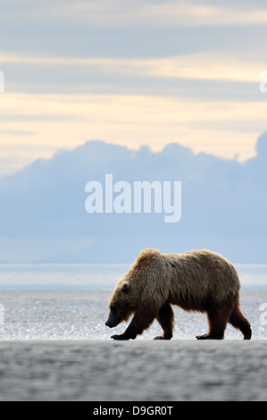 Grizzly Bear walking on beach with sunset - Stock Photo