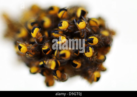 Extreme closeup of a cluster of tiny baby European Garden spiders Araneus diademata - Stock Photo