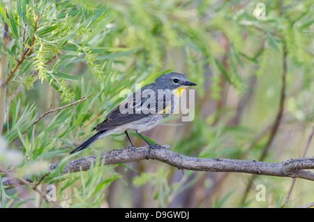 (Audubon's variety) Yellow-rumped Warbler, , (Setophaga coronata), Bosque del Apache National Wildlife Refuge, New - Stock Photo