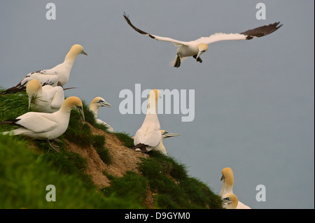 A northern gannet (Morus bassanus; Sula bassana) comes in to land amongst its colony on a cliff edge. - Stock Photo