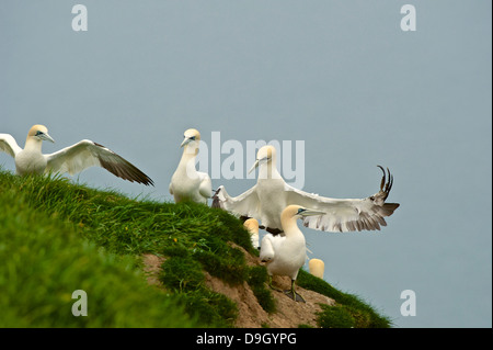 A juvenile northern gannet (Sula bassana; Morus bassanus) lands on a cliff top grass bank amongst other members - Stock Photo