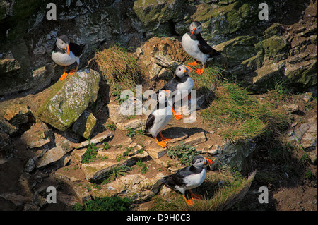 A group of five Atlantic Puffins (Fratercula arctica) perched on a ledge during the breeding season at Bempton Cliffs, - Stock Photo