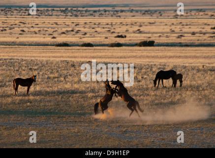 Fighting Wild Namibian Stallions, Equus ferus caballus, at the Garub Waterhole at Aus, Namibia, Africa - Stock Photo
