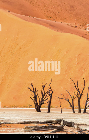 Dead Camelthorn Trees, Acacia erioloba, in the salt pan of Dead Vlei, Namib Naukluft Desert, Sossusvlei, Namibia, - Stock Photo