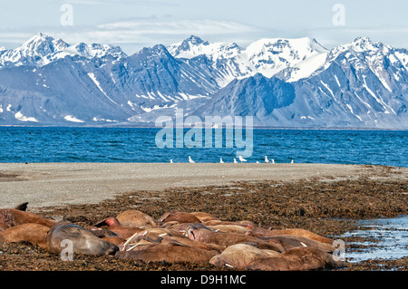 Walrus haul out, Odobenus rosmarus, Poolepynten, Svalbard Archipelago, Norway - Stock Photo