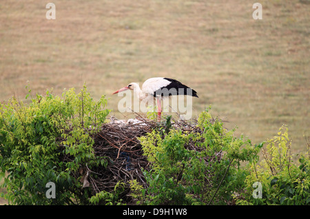 Stork standing in its nest on a tree - Stock Photo