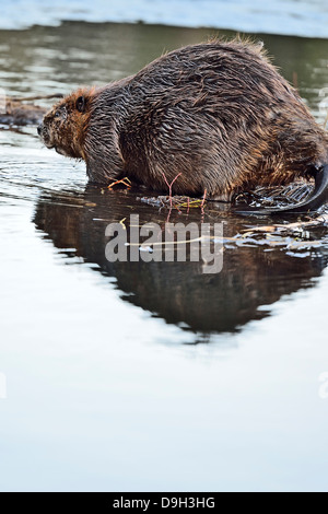 A side view image of an adult beaver entering the water with copyspace at the bottom of the image. - Stock Photo