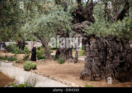 Olive Trees In The Garden Of Gethsemane Jerusalem Israel Stock Photo 57539259 Alamy