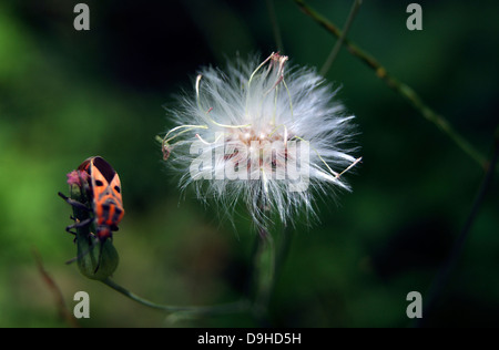 lilac tasselflower or Emilia sonchifolia flower and a Insect sitting nearby - Stock Photo
