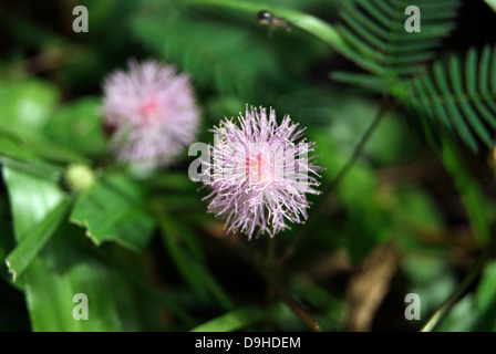Colorful lilac tasselflower or Emilia sonchifolia flower - Stock Photo