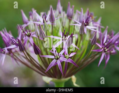 Allium Christophii flower. Star of Persia - Stock Photo